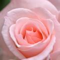 ブライダル ピンク