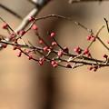 梅の花の蕾