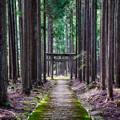 Photos: 杉林の中に