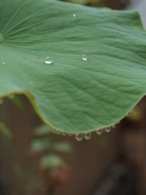 Photos: 蓮の水滴