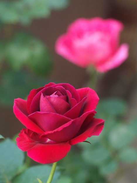 バラ色の…