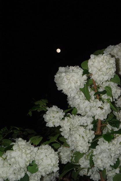 Photos: 月とオオデマリ