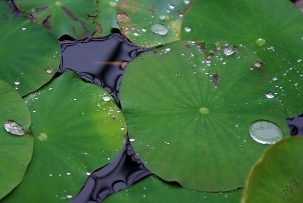 雨のメダカ鉢