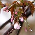 Photos: 濡れる桜
