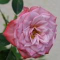 Photos: 日陰にピンク