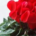 Photos: 赤いシクラメン