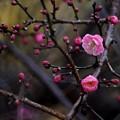 咲き始めは雨