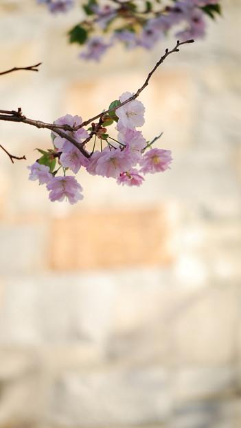Photos: Sakura 5-12-14