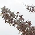 Pink Shower Tree I 3-26-17