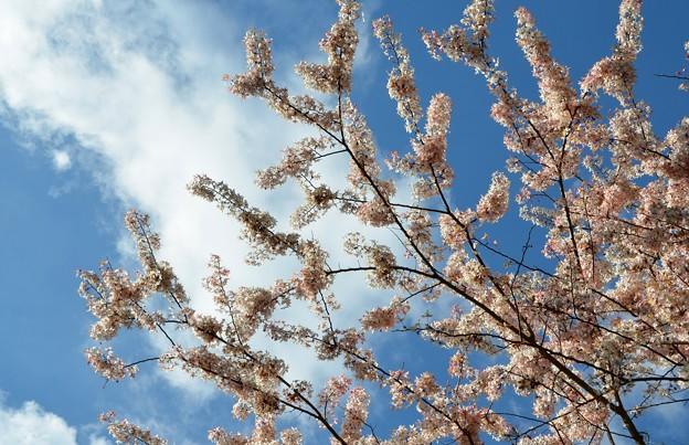 Pink Shower Tree I 4-9-17