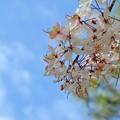 写真: Pink Shower Tree III 4-9-17