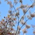 Pink Shower Tree V 4-9-17
