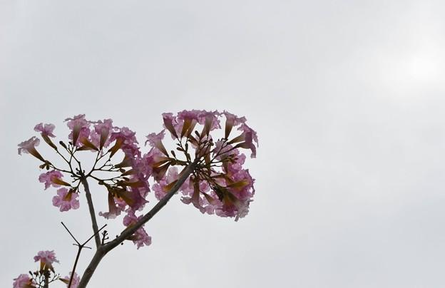 Rosy Trumpet Tree 4-18-17