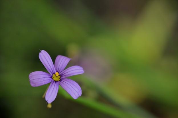 Photos: Blue Eyed Grass 5-21-17