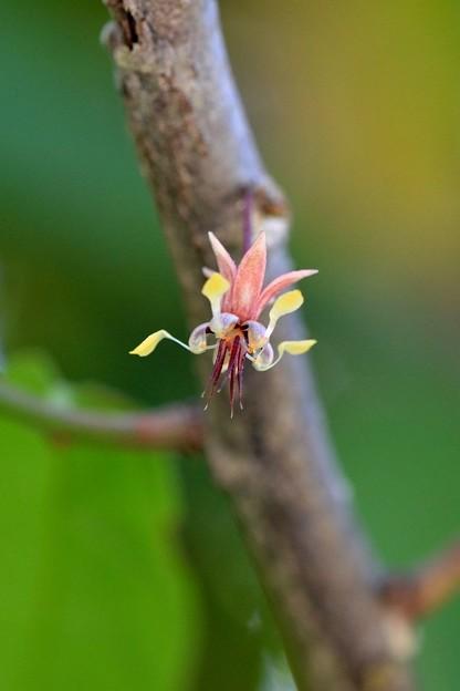 Photos: Cacao Flower 5-21-17