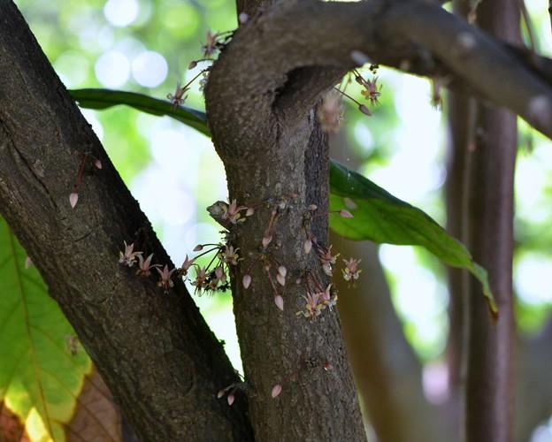 写真: Cacao Flowers 5-21-17