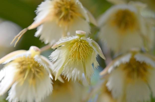Elaeocarpus hygrophilus III 5-21-17
