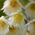 Photos: Elaeocarpus hygrophilus III 5-21-17