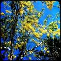 Golden Shower Tree II 5-21-17