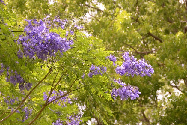 Jacaranda in the Park I 6-3-17
