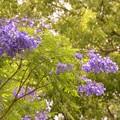 写真: Jacaranda in the Park I 6-3-17