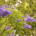 写真: Jacaranda in the Park I 6-3-17