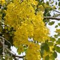 写真: Golden Shower Tree 6-3-17