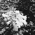 写真: White Jacaranda I 5-28-17