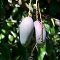 写真: Mangoes 5-28-17
