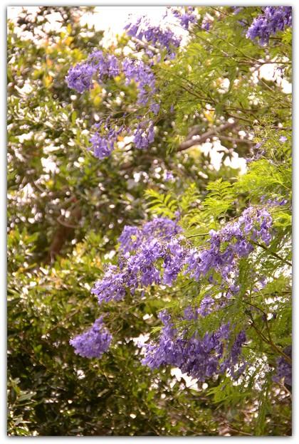 Jacaranda in the Park II 6-3-17