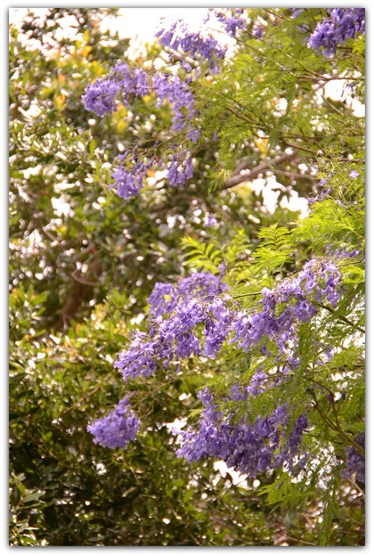 Jacaranda in the Park II 6-3-17