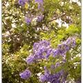 写真: Jacaranda in the Park II 6-3-17
