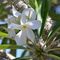 Madagascar Palm II 5-28-17
