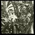 Madagascar Palm III 5-28-17