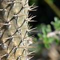 Pachypodium lamerei 5-28-17