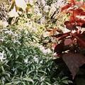 Crepe Jasmine IV 6-25-17