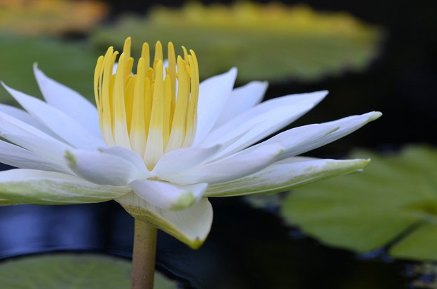 Water Lily III 6-25-17