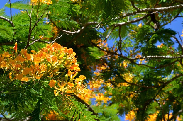 Yellow Royal Poinciana II 6-25-17