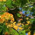 写真: Yellow Royal Poinciana II 6-25-17