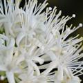 Phaleria octandra 6-25-17