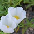 Portulaca grandiflora I 7-15-17
