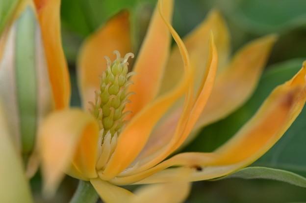 Magnolia champaca 7-15-17