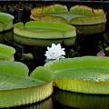 写真: Brazillian Giant Water Lily 7-30-17
