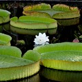 Photos: Brazillian Giant Water Lily 7-30-17