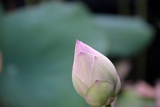Lotus Bud I 8-6-17