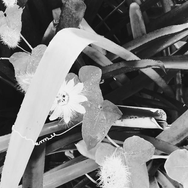 Passiflora foetida 7-30-17