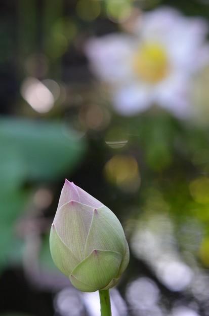 写真: Lotus Bud II 8-6-17