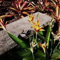 Heliconia flowers and Bromeliads 12-3-17
