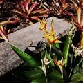 写真: Heliconia flowers and Bromeliads 12-3-17