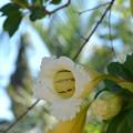 Photos: Golden Chalice Vine 12-3-17